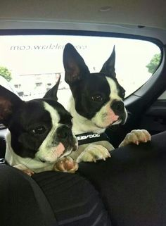 """""""Remind me never to ride with this clown again!"""" #dogs #pets #BostonTerriers facebook.com/sodoggonefunny"""