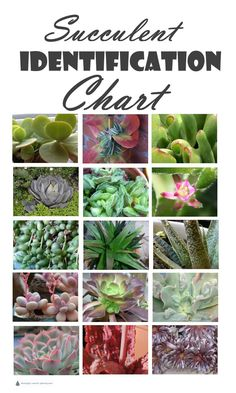 Succulent Identification Chart - gathering descriptions and names for all kinds . - Succulent Identification Chart – gathering descriptions and names for all kinds of succulents is - Types Of Succulents Plants, Flowering Succulents, Propagating Succulents, Growing Succulents, Succulents In Containers, Cacti And Succulents, Planting Succulents, Cactus Plants, Different Types Of Succulents