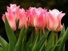 Tulip is a spring flowers, is very elegant and it blooms in March. Tulips like the sun very much and they need drained soil. Pink Tulips, Tulips Flowers, My Flower, Daffodils, Pretty Flowers, Spring Flowers, Parrot Tulips, White Tulips, Tulips Garden