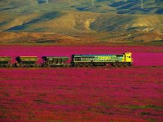 Cargo train traverses the pink landscape inside Chile's Atacama Desert in bloom due to El Niño rains 2015 Long Flowers, Desert Flowers, Rare Flowers, Deserts Of The World, Dry Desert, Holiday Places, Wonders Of The World, South America, Fields