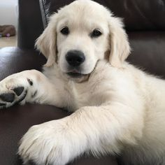 The many things we all admire about the Trustworthy Golden Retriever Puppy Golden Retriever Training, Dogs Golden Retriever, Labrador Retriever, Cute Dogs And Puppies, I Love Dogs, Doggies, Corgi Puppies, English Golden Retrievers, Akc Breeds
