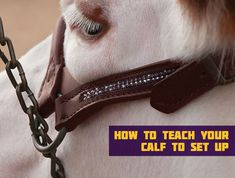 Teaching your calf to set up Livestock Judging, Showing Livestock, Showing Cattle, Show Cattle Barn, Calf Training, Cow Tipping, Show Cows, Show Steers, Leather Halter