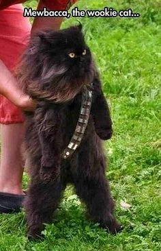 The replacement of Chewbacca for the new Star Wars films Source by zellmi videos wallpaper cat cat memes cat videos cat memes cat quotes cats cats pictures cats videos I Love Cats, Cute Cats, Funny Cats, Pretty Cats, Scary Funny, Grumpy Cats, Funny Minion, Animals And Pets, Funny Animals