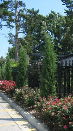 JUNIPER 'TAYLOR'  Taylor Juniper is a very slender growing upright with semi soft silvery greenish blue foliage. This plant works well as a narrow privacy plant, like Italian Cypress, or flanking plant for entrances.USDA Hardiness Zones 5-9, Height: 30 feet, spread: 3-4 feet.