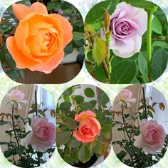 Rose, Flowers, Plants, Pink, Plant, Roses, Royal Icing Flowers, Flower, Florals