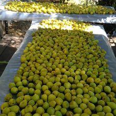 As receitas dos avós: COMO SECAR OS FIGOS Honeydew, Charcuterie, Celery, Homesteading, Fruit, Vegetables, Blog, Diy, Figs
