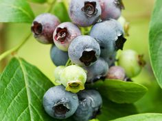 Get tips on growing blueberries from a blueberry farmer in this article on HGTV. Fruit Garden, Edible Garden, Garden Plants, Indoor Plants, Blueberry Plant, Blueberry Bushes, Blueberry Farm, Growing Blueberries, Growing Grapes
