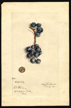 Artist:     Shull, James Marion, 1872-1948  Scientific name:     Vaccinium corymbosum  Common name:     blueberries  Variety:     No. 837  Geographic origin:     College Park, Prince Georges County, Maryland, United States  Physical description:     1 art original : col. ; 17 x 25 cm.  Specimen:     82202 1/2  Year:     1915  Notes on original:     Species unknown, probably corymbosum  Date created:     1915