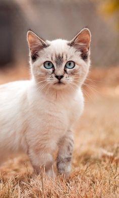 """loriedarlin: """"https://wallpaperscraft.com/download/cat_grass_walk_look_kitten_66919/480x800 """""""