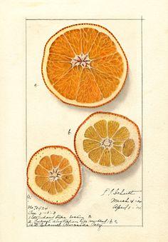 El diseño está bien. La historia es la mía. - Ellen Schutt Isham, Citrus sinensis, Washington ...