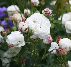 """ Boule de Neige"" Ball of Snow. Bred by Francois Lachame. France 1867.[ Madame Blanche Laffitte bourbon x Sappho damask rose. Bourbon noisette."