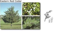 "Cupressaceae Juniperus virginiana ""Eastern Red Cedar"""