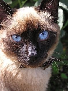 Belo Siamês... Lindos olhos azuis!