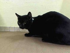 KILLED!!! SHAME NYC!!!! TO BE DESTROYED 11/20/14 * PRETTY PANTHER KITTY! Manhattan Center * Tom tolerates attention and petting but may be stressed in the shelter. Per previous owner: Loves to play, Enjoys Petting  *   My name is TOM. My Animal ID # is A1020173. I am a male black domestic sh mix. I am about 1 YEAR  OWNER SUR on 11/09/2014 from NY 11372, TOO MANY P. Group/Litter #K14-201377.