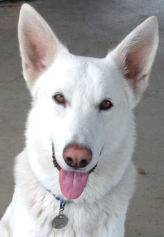 White german shepherd -just like my baby pandora!- pastor al Baby Dogs, Dogs And Puppies, Doggies, White Shepherd, German Shepherd Puppies, German Shepherds, Schaefer, Best Dog Training, White Dogs