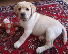 Riggs the Labrador Retriever