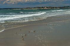 Westport MA Beaches | Sanderling birds on Horseneck Beach. Westport ...