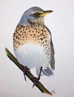 Original Watercolour Fieldfare Painting By Emma Hogan Wildlife Bird Art Thrush  | eBay