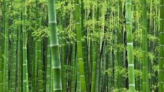 Facts about Bamboo talk about the flowering perennial evergreen plants included in the tribe Bambuseae and subfamily Bambusoideae. Bamboo in included as a Buy Bamboo, Bamboo Tree, Bamboo Plants, Bamboo House, Bamboo Garden, Green Garden, Bamboo Wallpaper, Nature Wallpaper, Red Fabric