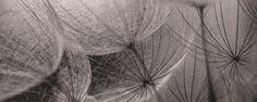 Fototapeta panoramatická vliesová Grey interior of dandelion : Interie Gray Interior, Dandelion, Grey, Plants, Gray, Dandelions, Plant, Taraxacum Officinale, Planets