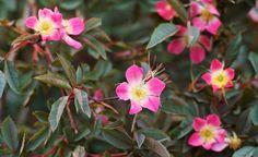 Daggros, Rosa glauca Garden Shrubs, Garden Photos, Flora, Plants, Gardening, Cottage, Paintings, Google, Garten