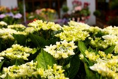 Hydrangea m 'White Spirit' - Position in sun/partial sun. Blossoms from June-Sept. Fully grown at after 5 years. Prune end of winter or start of spring. White Spirit, End Of Winter, Spring Starts, Colorful Garden, Summer Flowers, 5 Years, Hydrangea, Blossoms, June