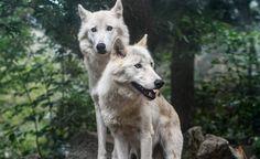 Cosa significano tutti questi lupi uccisi e appesi