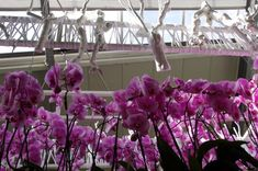 Hollande - Parc floral de Keukenhof, serre des orchidées
