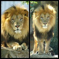 Male lion (Ingozi) at St. Male Lion, St Louis, Saints, Photography, Animals, Big Cats, Photograph, Animales, Animaux