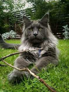 Maine Coon. I totally want a Maine coon someday you think you do mine is 20lbs of satin... fixed declawed still the devil.