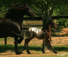 Gypsy MVP | Ulleke| Black Friesian Mare with spotted foal
