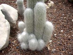 Naturaleza espinosa: Cephalocereus senilis - Cactus abuelo