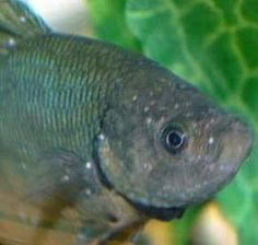 Pinterest the world s catalog of ideas for Tropical fish diseases pictures