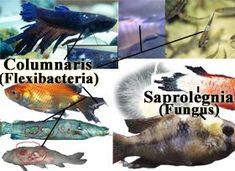 Fish Columnaris | Fungus & Saprolegnia | Treatment & Prevention  http://www.americanaquariumproducts.com/Columnaris.html