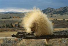Ce porc-épic stoïque.   29 animaux albinos qui vont vous faire craquer