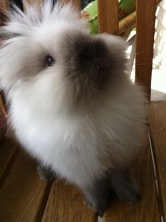 love this face Small Animals, Animals And Pets, Baby Animals, Cute Animals, Bunny And Bear, Baby Bunnies, Cute Bunny, Lionhead Rabbit, Angora Rabbit