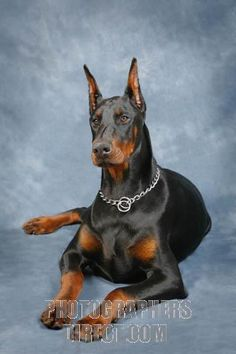 .beautiful doberman.