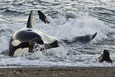 Orca Stading by Eco Lodge Peninsula Valdes, via Flickr