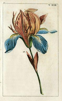 Gottlieb Tobias Wilhelm Iris 1810