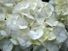 koop nu de hortensia (hydrangea black diamonds red angel purple