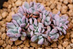 Succulent Echeveria Akinoshimo Crest  cactus agave caudex 2-7126 #FarmingAgriculturalAssociationCorpJIYANG