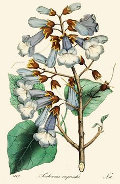 Botanical illustration of paulownia imperialis circa 1849 by Captain Geoffrey Spaulding