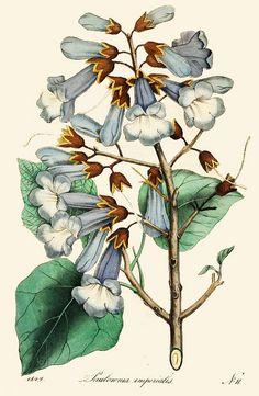 Paulownia imperialis, 1849. #Victorian #vintage #botanical #illustrations