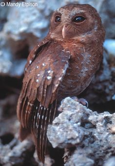 Palau Owl (Pyrroglaux podarginus). Photo by Mandy Etpison.