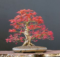 bonsai with great fall color.