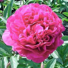 Paeonia 'Kansas' Kansas Peony from Midwest Groundcovers Long Flowers, Red Flowers, Colorful Flowers, Rabbit Resistant Plants, Leaf Texture, Garden Gifts, Apple Tree, Types Of Flowers, Landscaping Plants
