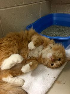 Oliver - URGENT - ROYAL OAK ANIMAL SHELTER in Royal Oak, MI - ADOPT OR FOSTER - 7 year old Neutered Male Domestic Medium Hair