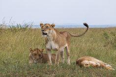 Lionesses of the Ol Kiombo Pride, via Flickr.