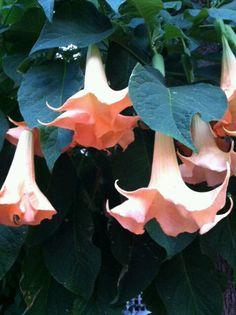 Trompet flowers