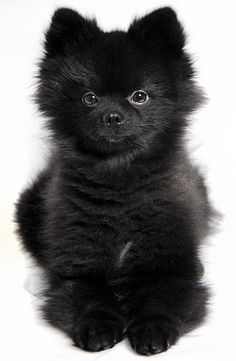 We love black Pomeranian puppies. They aren't the easiest to track down, those stealthy little buggers. Black Pomeranian, Pomeranian Puppy, Chihuahua, Micro Teacup Pomeranian, Cute Puppies, Cute Dogs, Dogs And Puppies, Doggies, Little Dogs